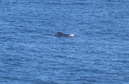 pilot whale 7