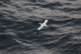 11.8.17 fri adult gannet from above